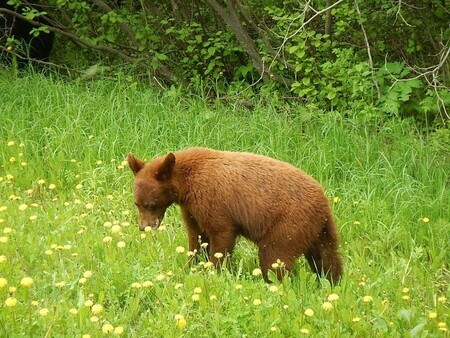 Riding Mountain Cinnamon Bear