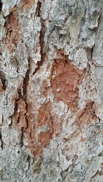Tree Bark Beauty